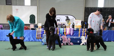 Parade of Veterans 70   Miss J A Aspinall              CH MONTAIRES MIDNITE N RUSSIA RN               Poodle (Miniature) 71   Mrs H Turner                     AM CH & CH PARADIGM'S HOT LIPS (USA)         Poodle (Standard) 72   W Talintyre                        STARINA WHO SAID I AM                                       Poodle (Standard)
